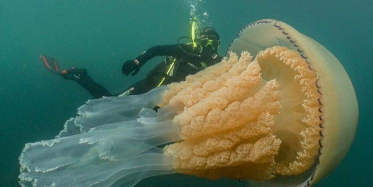کشف عروس دریایی به اندازه یک انسان